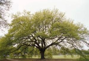 1439-oak-tree-layer-on-pg
